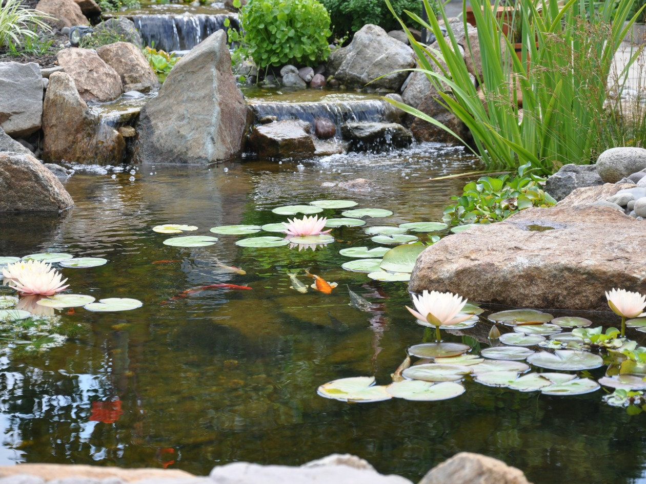 What size koi pond should i design for my yard turpin for Design of maturation pond