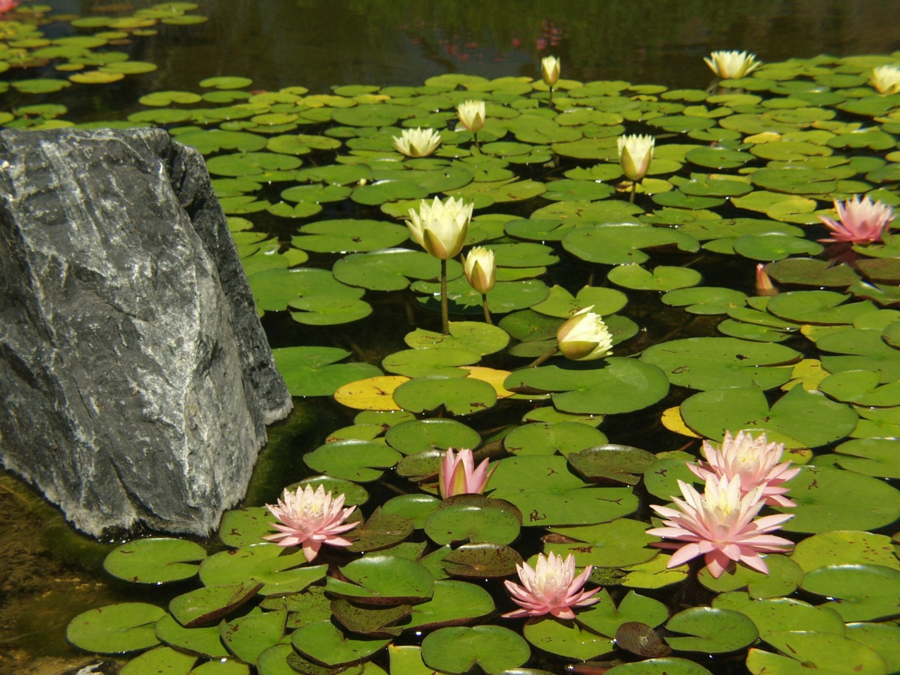 What Are Pond Plants And How Do They Benefit My Koi Pond In