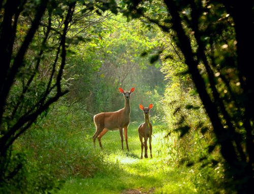 How to Keep Deer Away from your Garden
